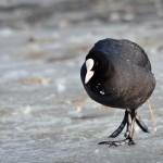 Lyska černá