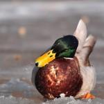 Kachna divoká otřepávající si vodu ze zobáku