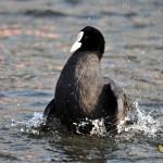 Lyska černá koupající